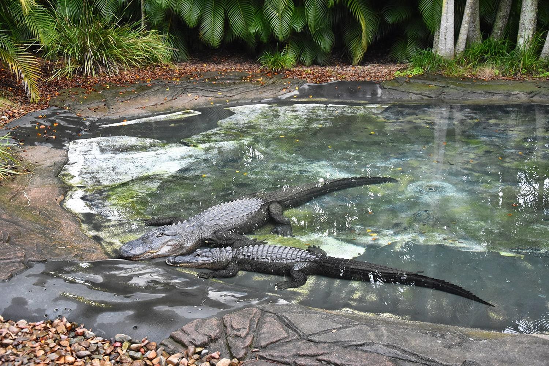 Due coccodrilli nell'Australia Zoo, fondato dai genitori di Steve Irwin