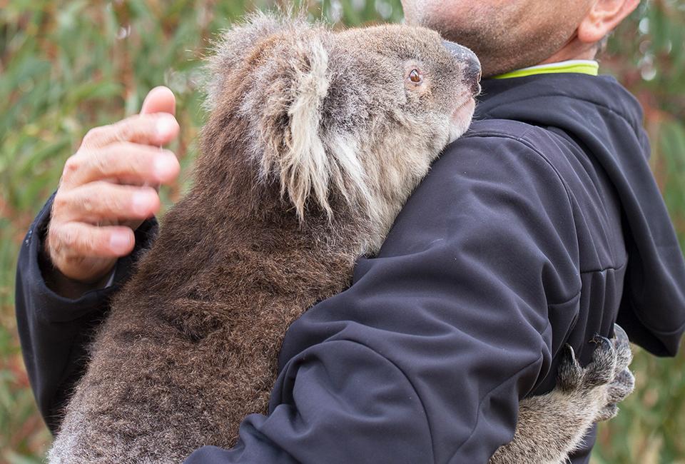 Incendi in Australia, un volontario con un koala