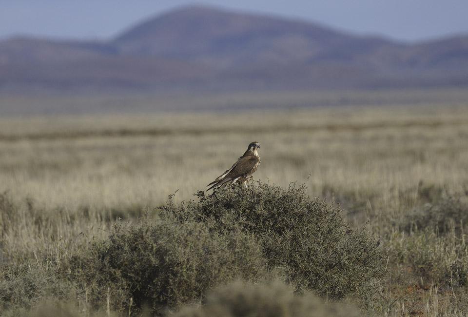 Gli uccelli piromani d'australia, un falco bruno