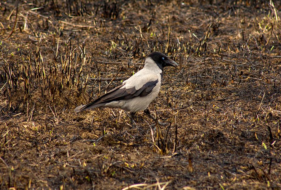 Un corvo in cerca di cibo